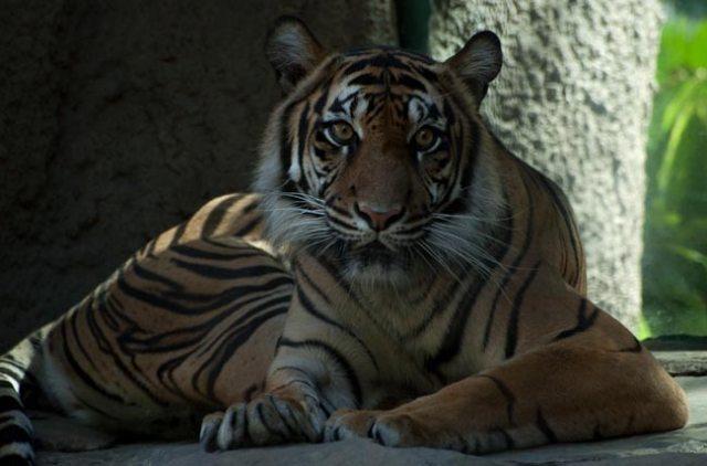 Sumatran Tiger, original image