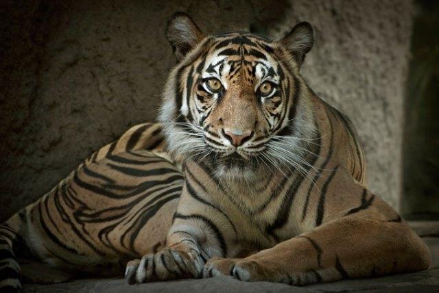 Sumatran Tiger, Sacramento Zoo