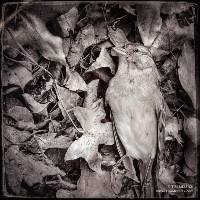 Unlucky sparrow