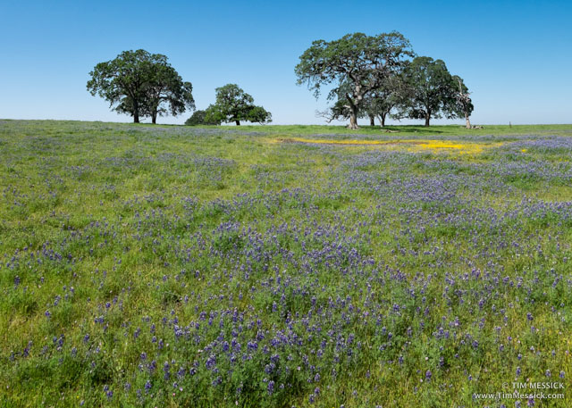 Oaks and lupines at Table Mountain