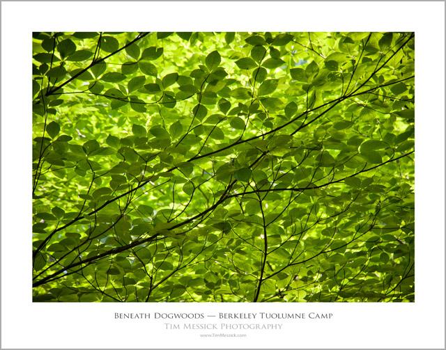 BTC-Beneath_Dogwoods