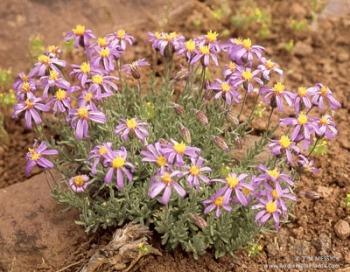 Ionactis alpina