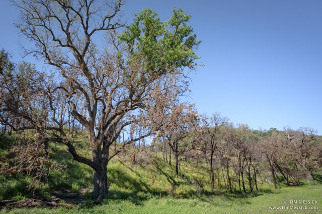 Burned Oaks