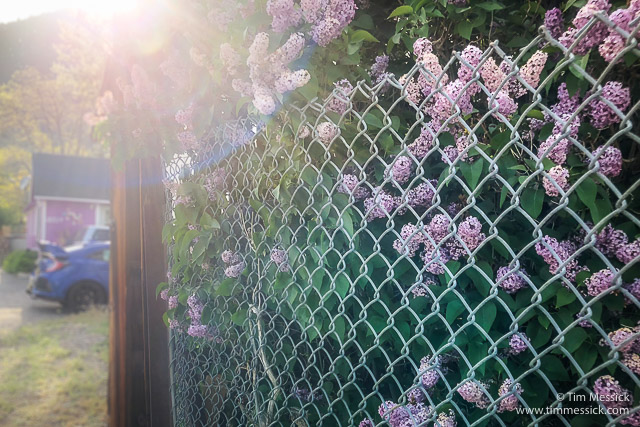 Lilacs in Lee Vining