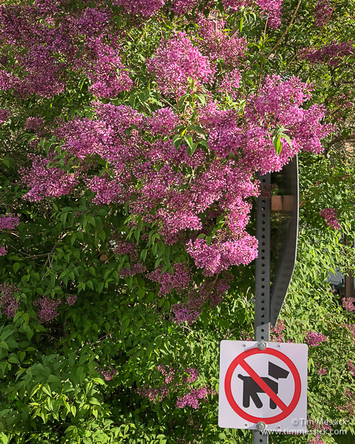 Lilacs in Lee Vining